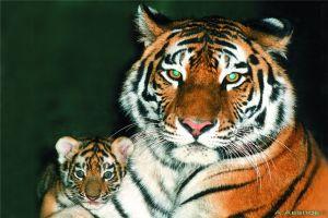 По личной инициативе Президента РФ был создан Фонд по защите амурских тигров